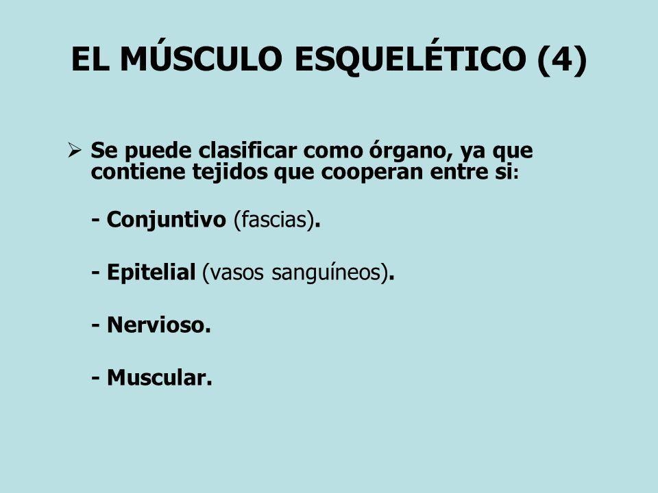 EL MÚSCULO ESQUELÉTICO (4)