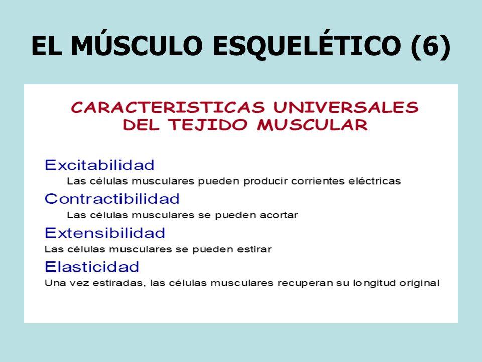 EL MÚSCULO ESQUELÉTICO (6)