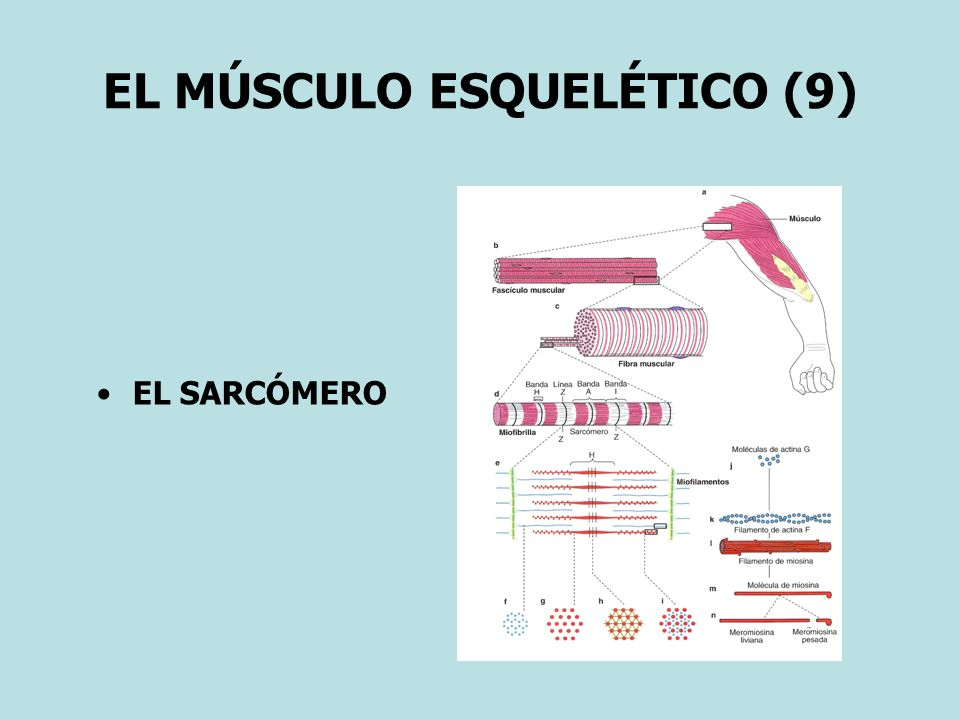 EL MÚSCULO ESQUELÉTICO (9)