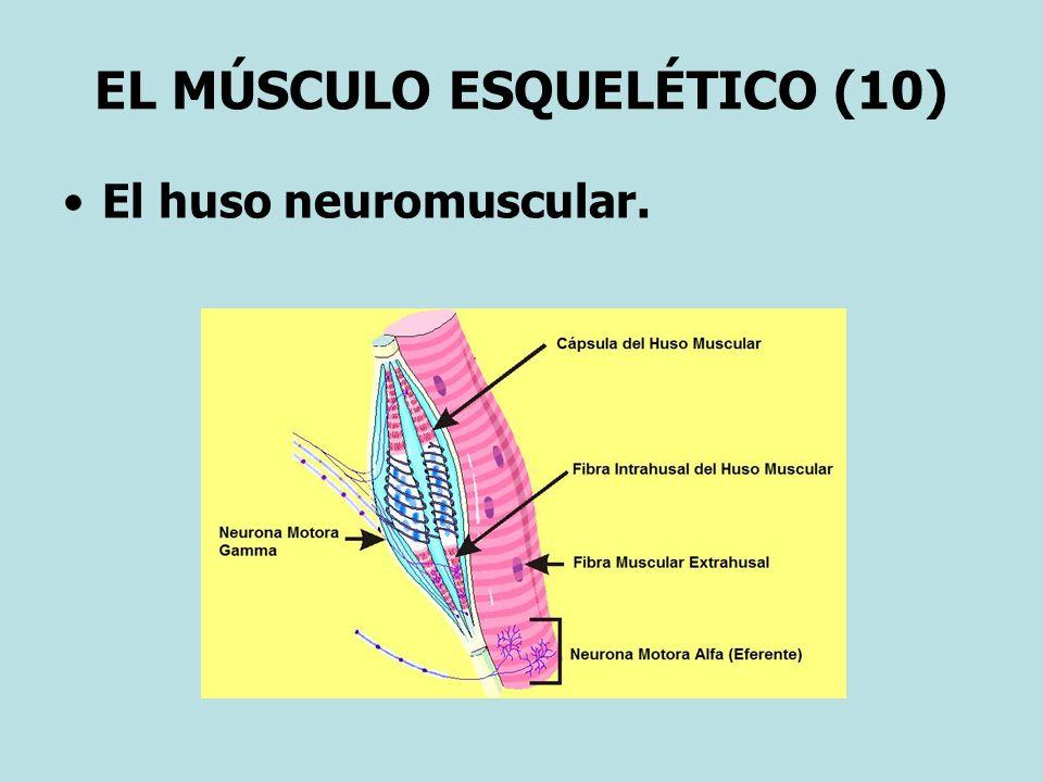 EL MÚSCULO ESQUELÉTICO (10)