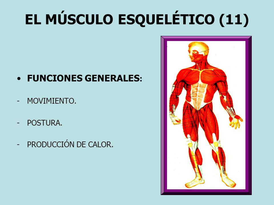 EL MÚSCULO ESQUELÉTICO (11)
