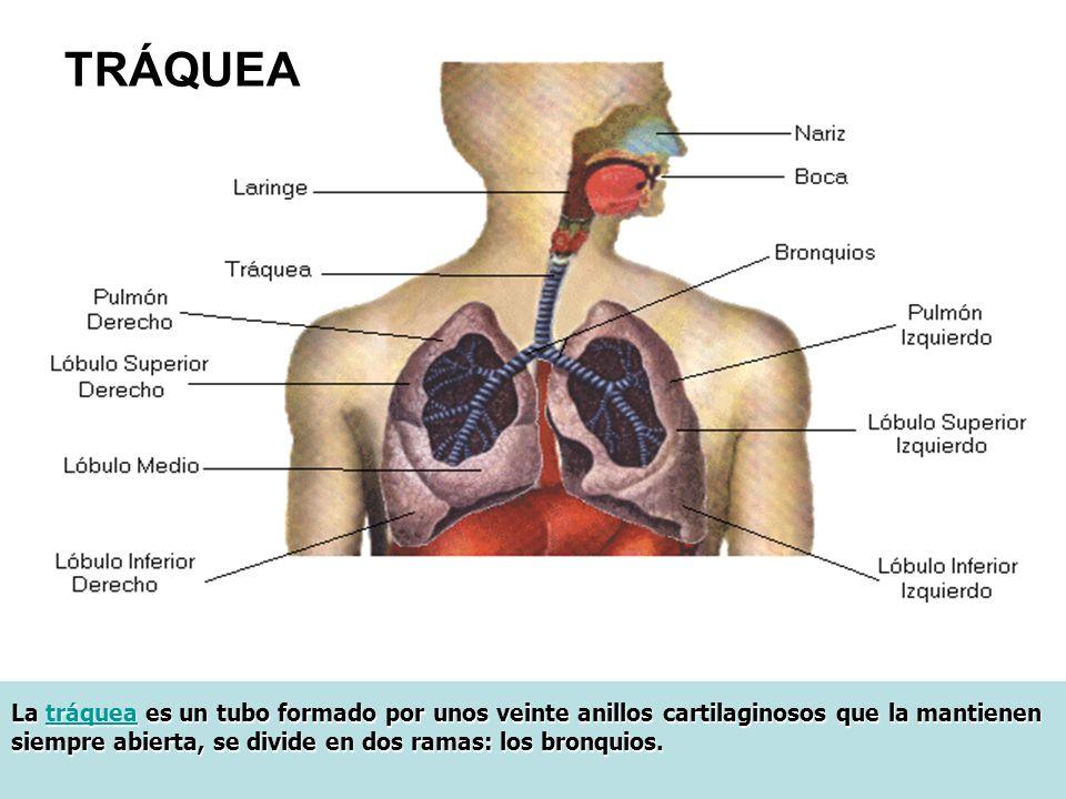TRÁQUEA La tráquea es un tubo formado por unos veinte anillos cartilaginosos que la mantienen siempre abierta, se divide en dos ramas: los bronquios.