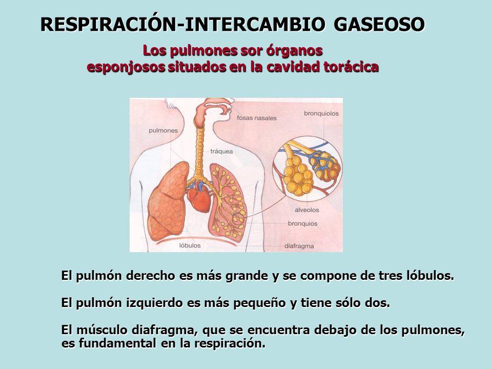 RESPIRACIÓN-INTERCAMBIO GASEOSO Los pulmones sor órganos esponjosos situados en la cavidad torácica