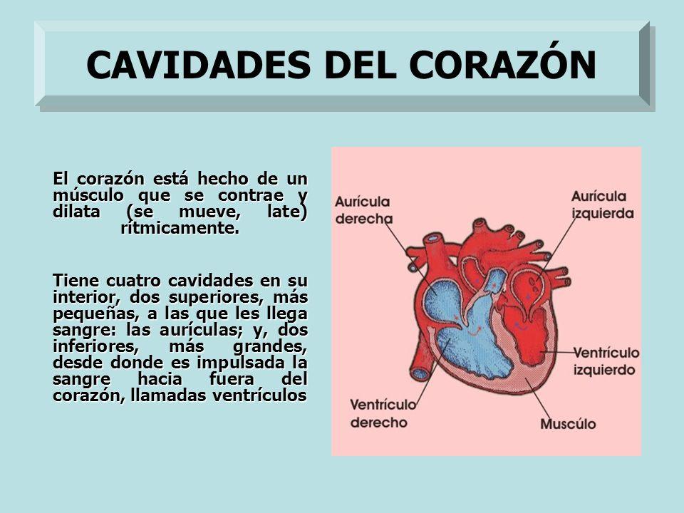 CAVIDADES DEL CORAZÓN El corazón está hecho de un músculo que se contrae y dilata (se mueve, late) rítmicamente.