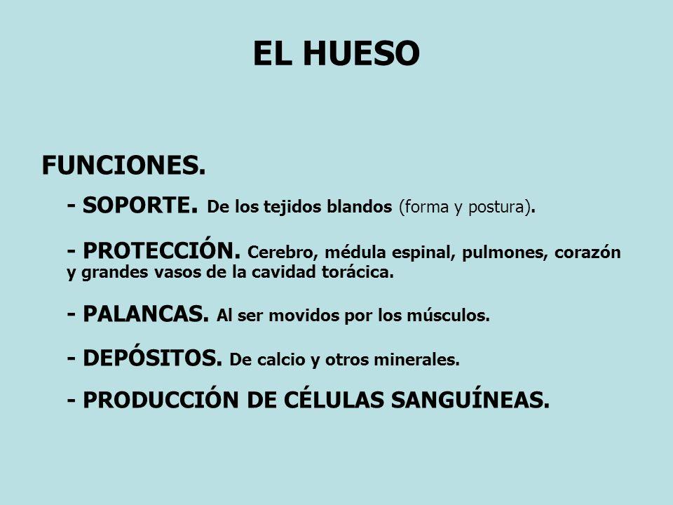 EL HUESO FUNCIONES. - SOPORTE. De los tejidos blandos (forma y postura).