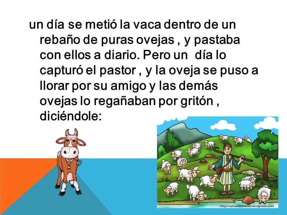un día se metió la vaca dentro de un rebaño de puras ovejas , y pastaba con ellos a diario.