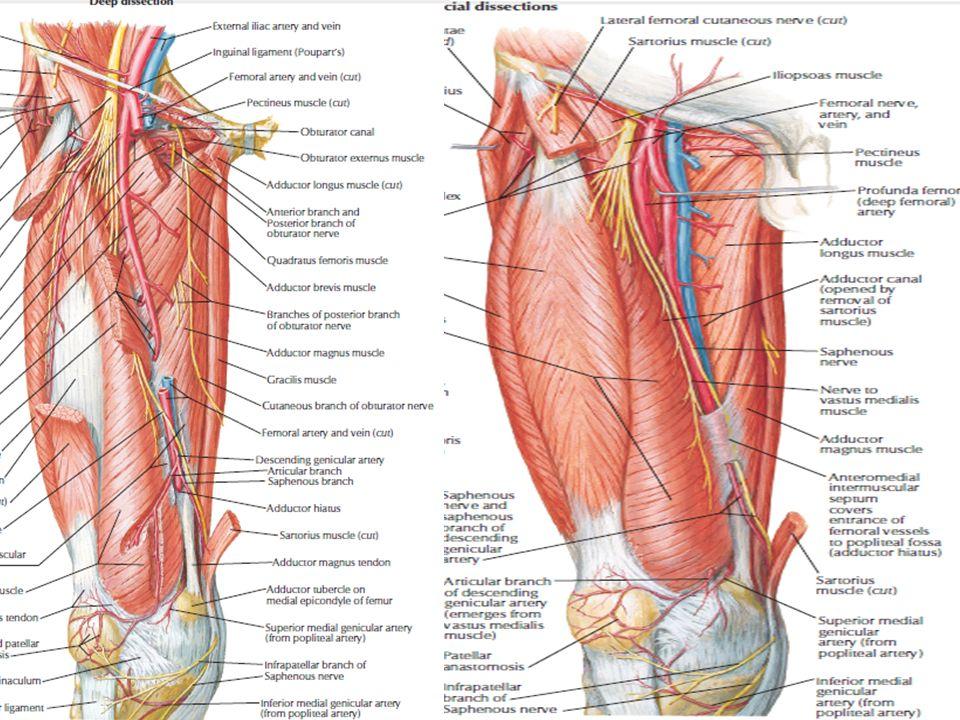 Bonito Músculos Abductores Del Muslo Friso - Imágenes de Anatomía ...