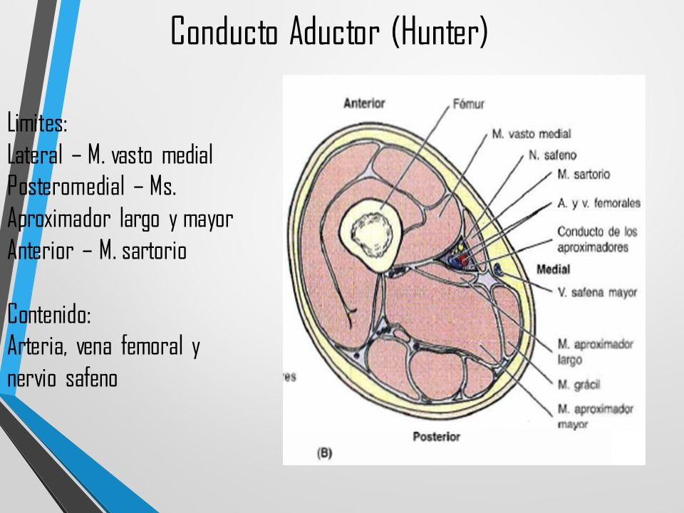 Excepcional Canal Anatomía Bagre Modelo - Imágenes de Anatomía ...