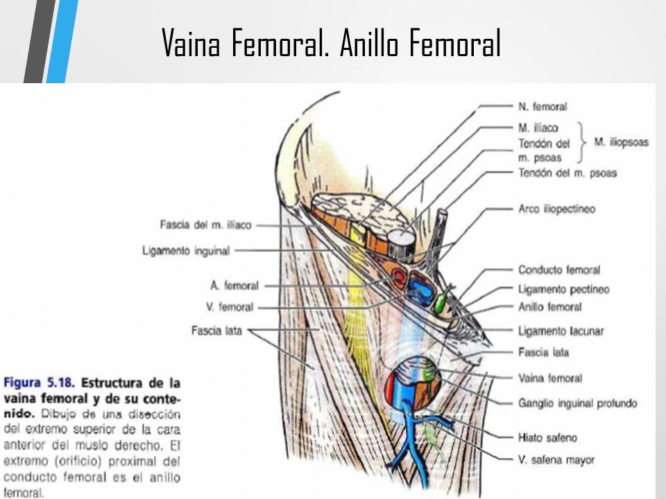 Bonito Anatomía Vena Femoral Ilustración - Imágenes de Anatomía ...