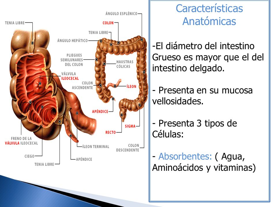 Fantástico Anatomía Del Intestino Grueso Y Delgado Fotos - Anatomía ...
