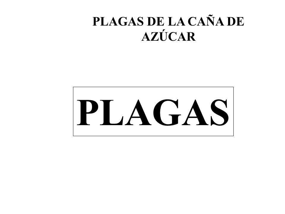 PLAGAS DE LA CAÑA DE AZÚCAR