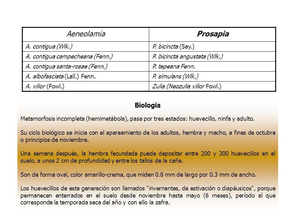 Aeneolamia Prosapia Biología A. contigua (Wlk.) P. bicincta (Say.)