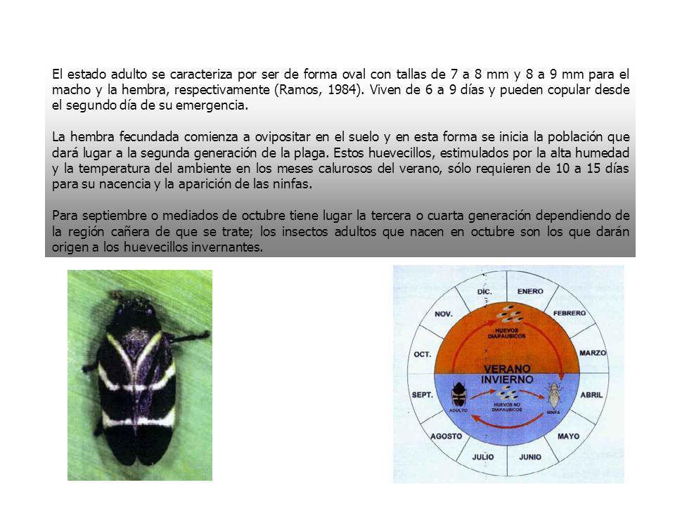 El estado adulto se caracteriza por ser de forma oval con tallas de 7 a 8 mm y 8 a 9 mm para el macho y la hembra, respectivamente (Ramos, 1984). Viven de 6 a 9 días y pueden copular desde el segundo día de su emergencia.