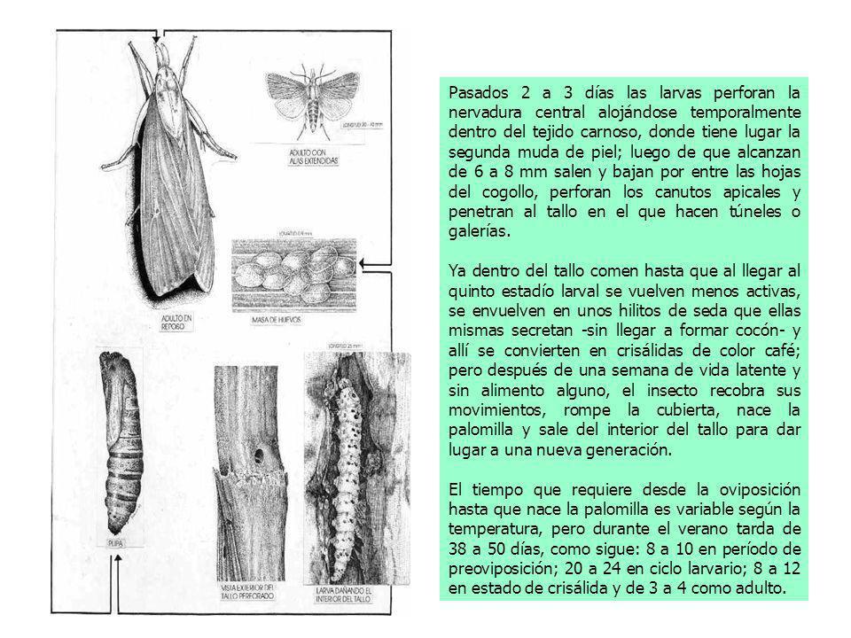 Pasados 2 a 3 días las larvas perforan la nervadura central alojándose temporalmente dentro del tejido carnoso, donde tiene lugar la segunda muda de piel; luego de que alcanzan de 6 a 8 mm salen y bajan por entre las hojas del cogollo, perforan los canutos apicales y penetran al tallo en el que hacen túneles o galerías.