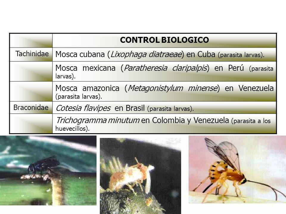 Mosca cubana (Lixophaga diatraeae) en Cuba (parasita larvas).