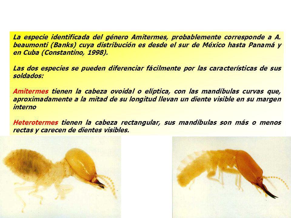 La especie identificada del género Amitermes, probablemente corresponde a A. beaumonti (Banks) cuya distribución es desde el sur de México hasta Panamá y en Cuba (Constantino, 1998).