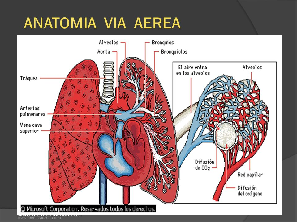 ANATOMIA VIA AEREA www.reeme.arizona.edu www.reeme.arizona.edu