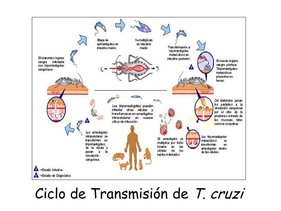 Ciclo de Transmisión de T. cruzi
