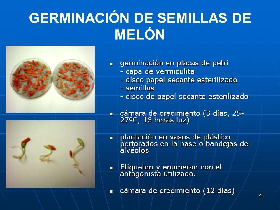 GERMINACIÓN DE SEMILLAS DE MELÓN
