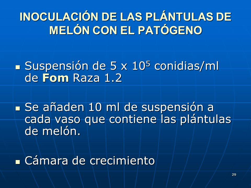 INOCULACIÓN DE LAS PLÁNTULAS DE MELÓN CON EL PATÓGENO