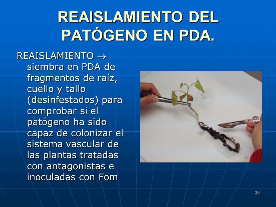 REAISLAMIENTO DEL PATÓGENO EN PDA.