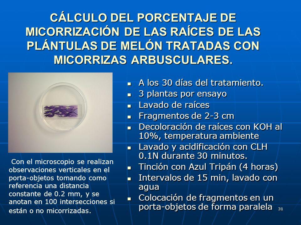 CÁLCULO DEL PORCENTAJE DE MICORRIZACIÓN DE LAS RAÍCES DE LAS PLÁNTULAS DE MELÓN TRATADAS CON MICORRIZAS ARBUSCULARES.