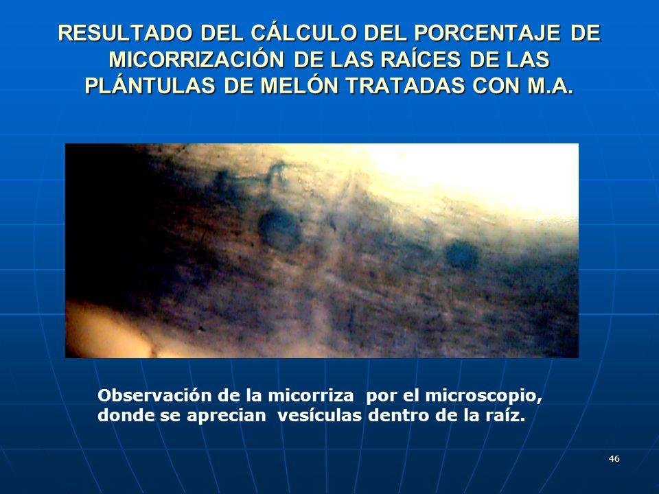 RESULTADO DEL CÁLCULO DEL PORCENTAJE DE MICORRIZACIÓN DE LAS RAÍCES DE LAS PLÁNTULAS DE MELÓN TRATADAS CON M.A.