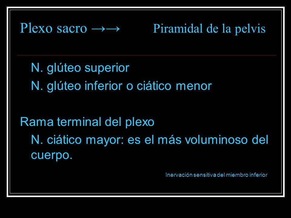 Plexo sacro →→ Piramidal de la pelvis