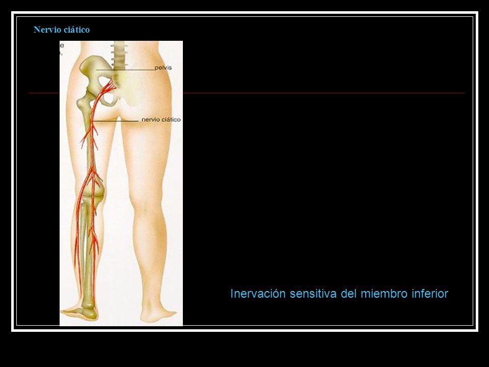 Inervación sensitiva del miembro inferior