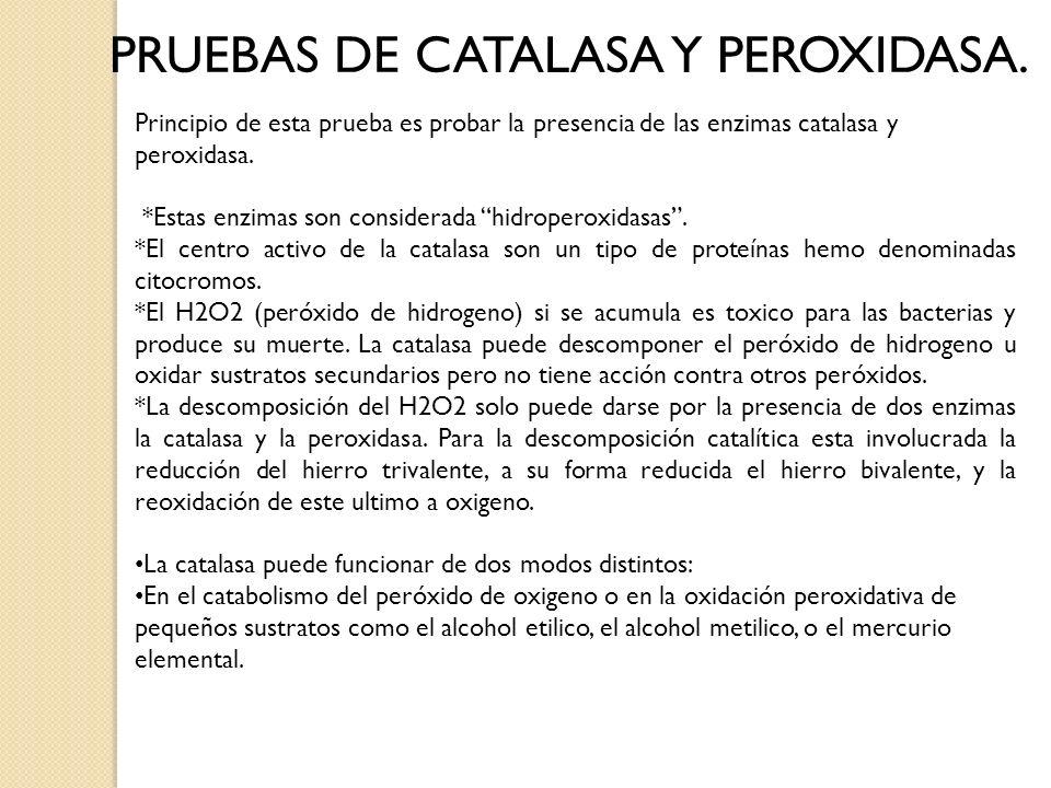 PRUEBAS DE CATALASA Y PEROXIDASA.