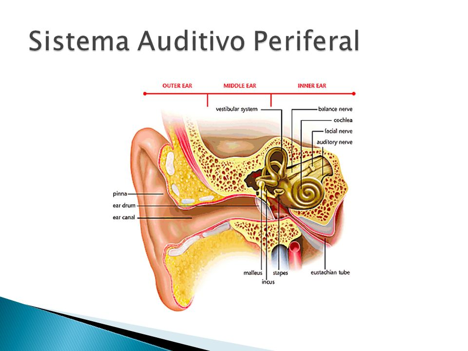 Sistema Auditivo Periferal