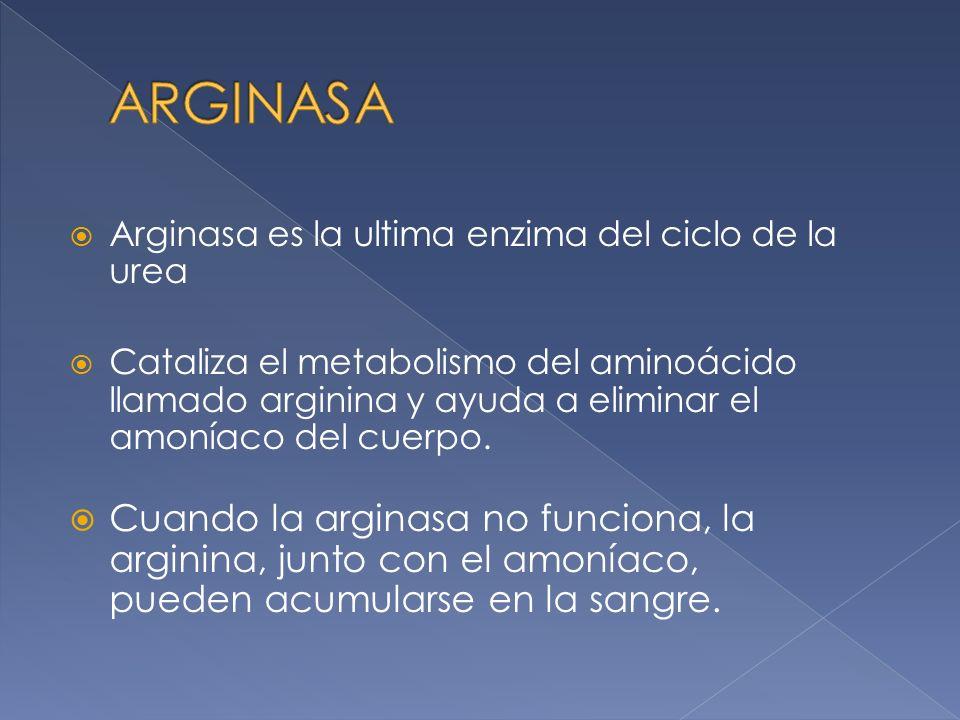 ARGINASA Arginasa es la ultima enzima del ciclo de la urea.