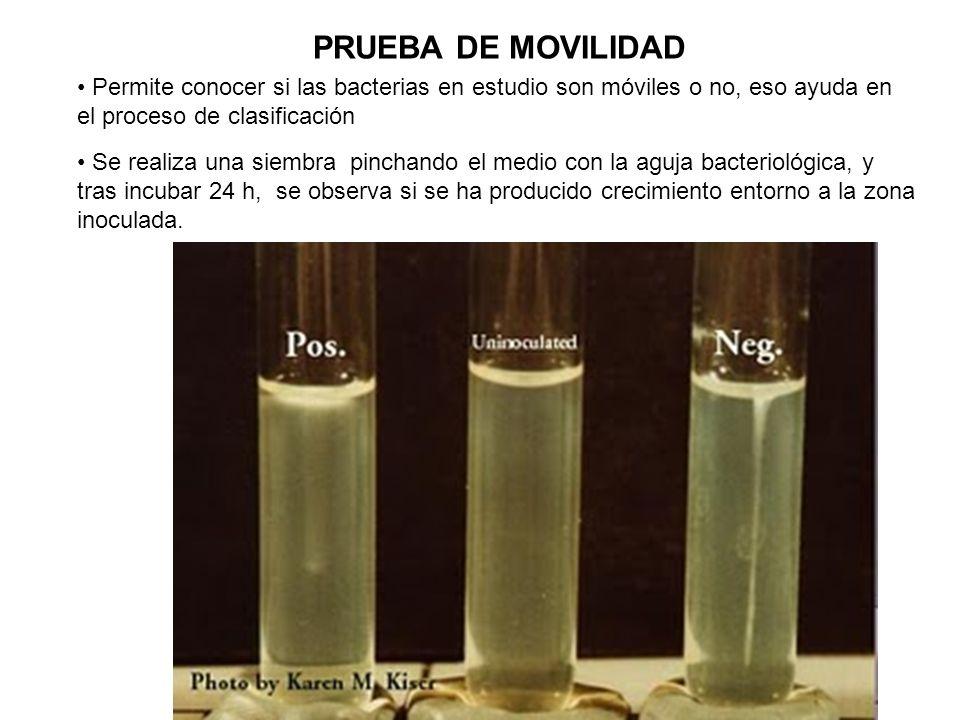 PRUEBA DE MOVILIDAD Permite conocer si las bacterias en estudio son móviles o no, eso ayuda en el proceso de clasificación.