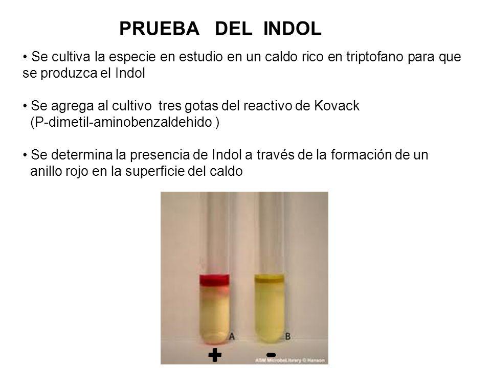 PRUEBA DEL INDOL Se cultiva la especie en estudio en un caldo rico en triptofano para que se produzca el Indol.