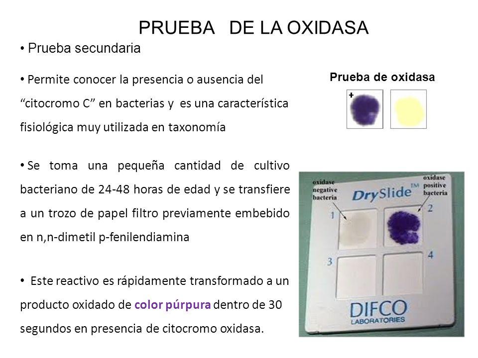 PRUEBA DE LA OXIDASA Prueba secundaria