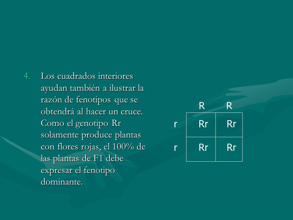 Los cuadrados interiores ayudan también a ilustrar la razón de fenotipos que se obtendrá al hacer un cruce. Como el genotipo Rr solamente produce plantas con flores rojas, el 100% de las plantas de F1 debe expresar el fenotipo dominante.