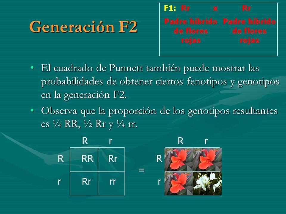 Generación F2 El cuadrado de Punnett también puede mostrar las probabilidades de obtener ciertos fenotipos y genotipos en la generación F2.