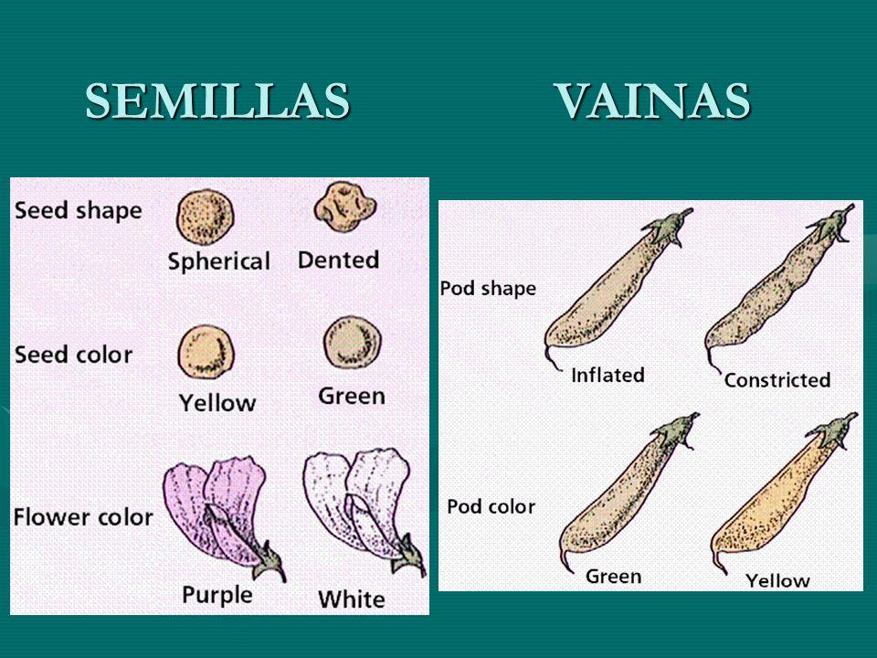 SEMILLAS VAINAS