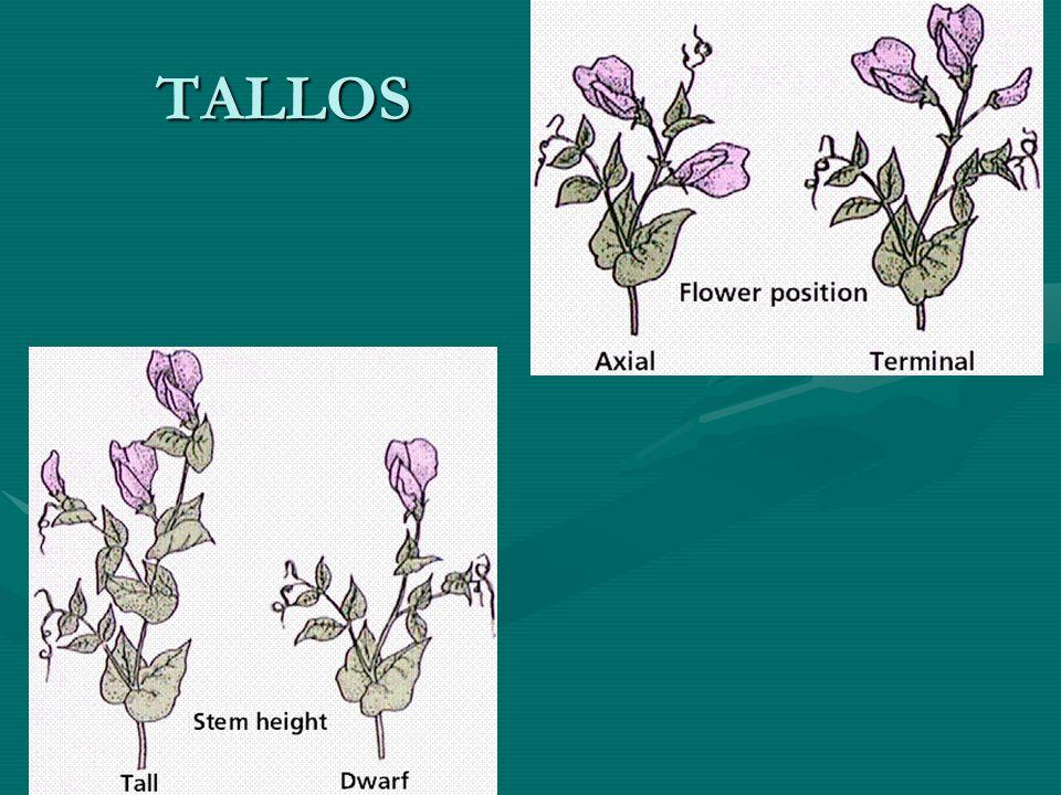 TALLOS