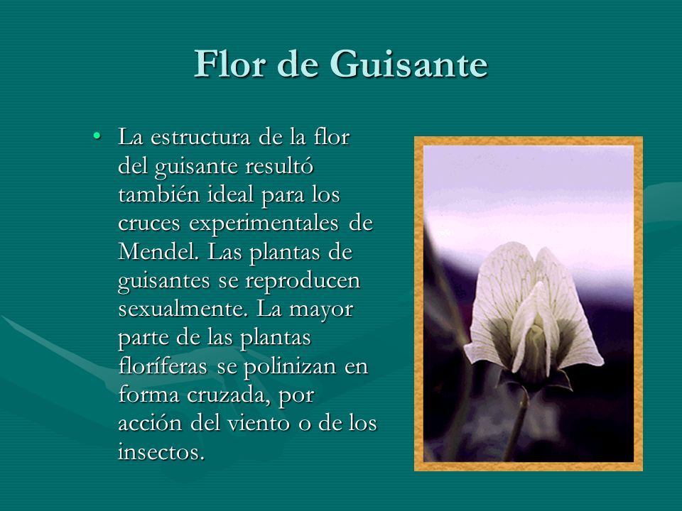 Flor de Guisante