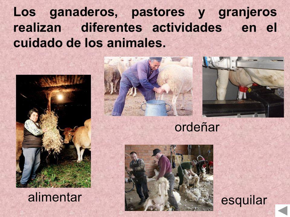 Los ganaderos, pastores y granjeros realizan diferentes actividades en el cuidado de los animales.