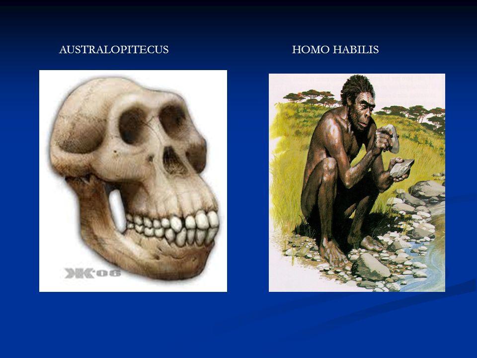 AUSTRALOPITECUS HOMO HABILIS