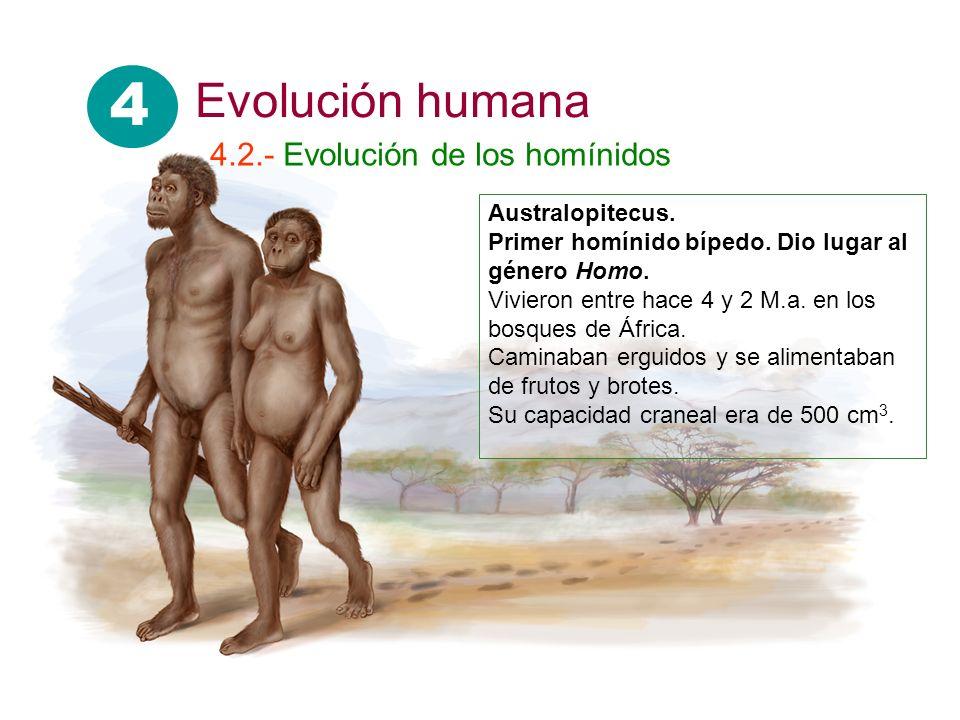 4 Evolución humana 4.2.- Evolución de los homínidos Australopitecus.