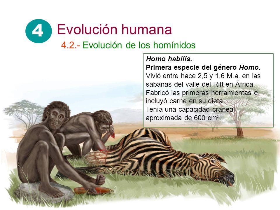 4 Evolución humana 4.2.- Evolución de los homínidos Homo habilis.