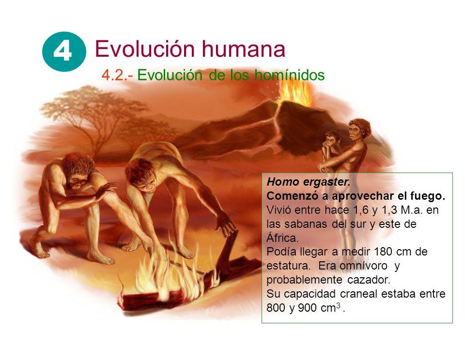4 Evolución humana 4.2.- Evolución de los homínidos Homo ergaster.