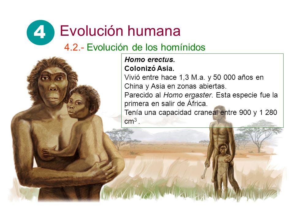 4 Evolución humana 4.2.- Evolución de los homínidos Homo erectus.