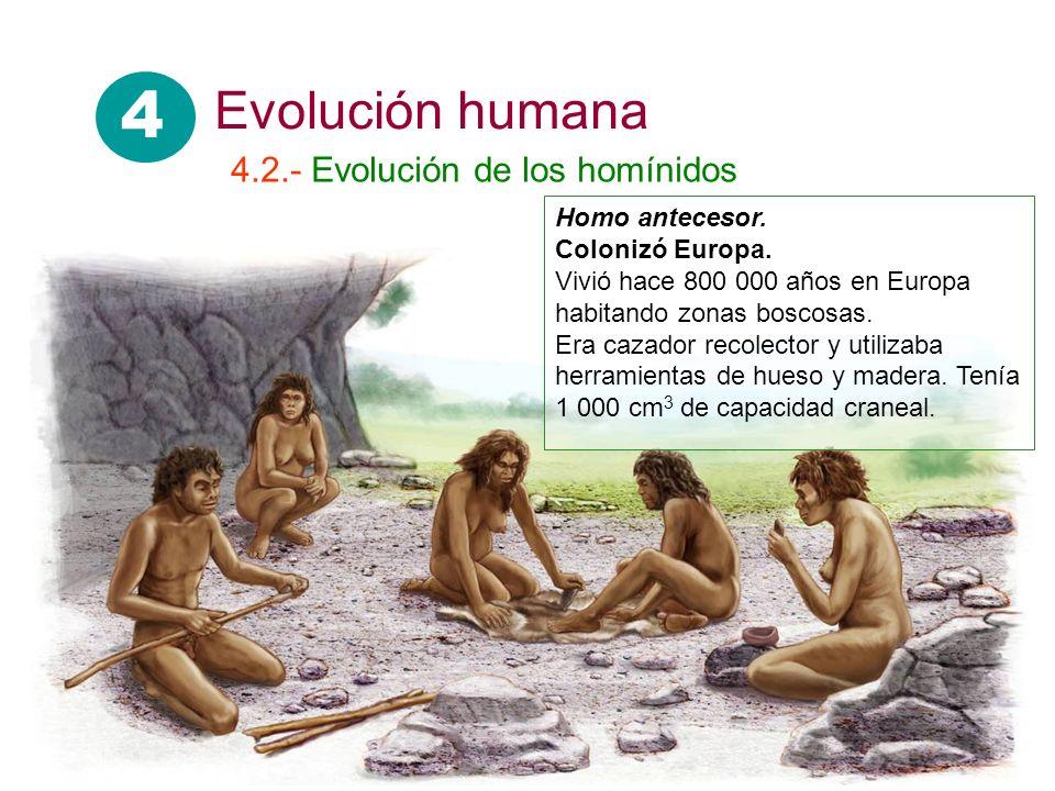 4 Evolución humana 4.2.- Evolución de los homínidos Homo antecesor.