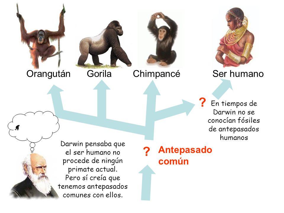 Orangután Gorila Chimpancé Ser humano Antepasado común