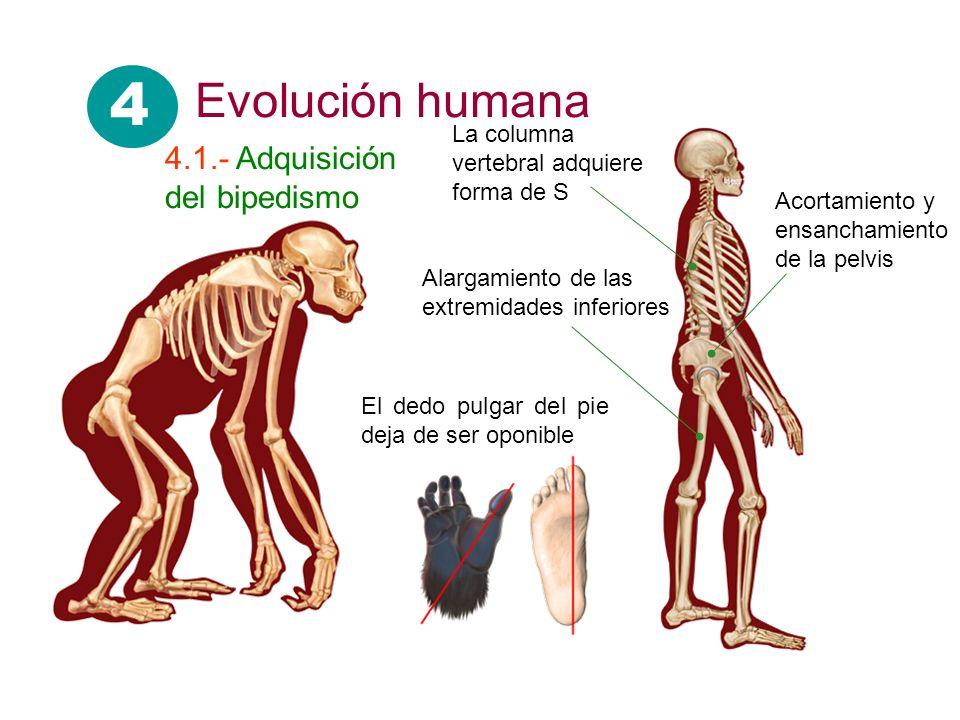4 Evolución humana 4.1.- Adquisición del bipedismo