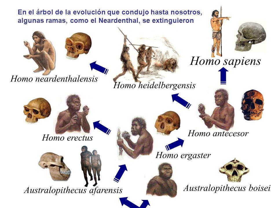 Homo sapiens Homo neardenthalensis Homo heidelbergensis Homo antecesor